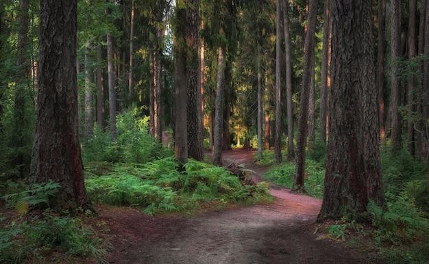 Caminho sinuoso em uma antiga floresta ensolarada do norte entre troncos de árvores e samambaias no verão