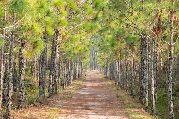 Caminho sob o pinheiro na floresta