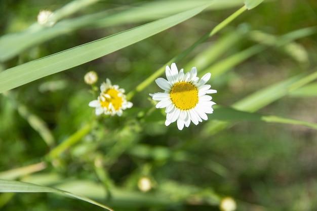 Camomila de verão florescendo no campo