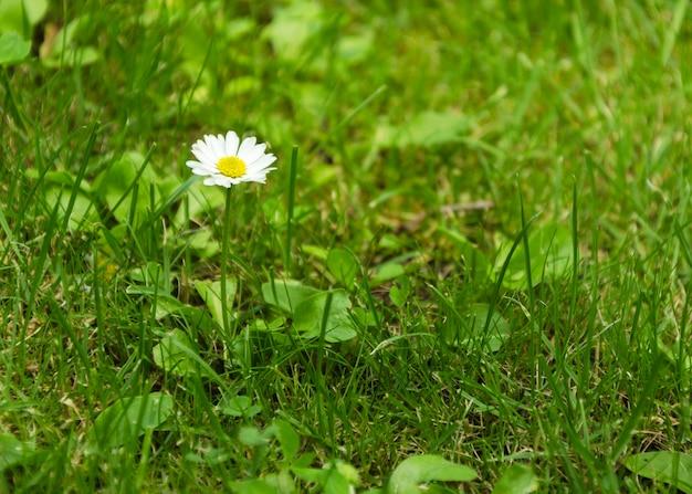 Camomila entre grama verde closeup