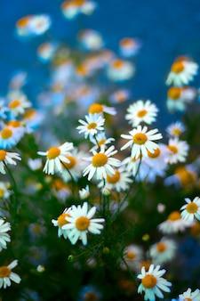 Camomila flores desabrochando turva fundo azul