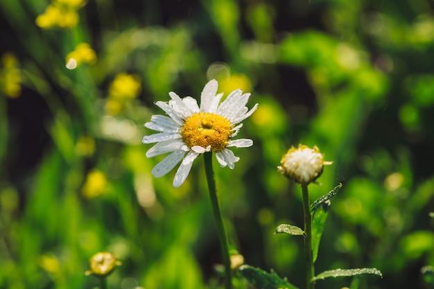 Camomila na chuva close-up. margarida sob forte chuva em macro. marguerite em aguaceiro. gotas molhadas na bela flor. grama verde vívida rica em gotas. fundo com plantas em pingos de chuva.