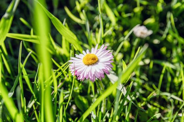 Camomila na grama verde em um dia ensolarado. fechar-se.