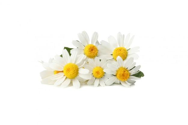 Camomilas bonitas isoladas no branco. flores