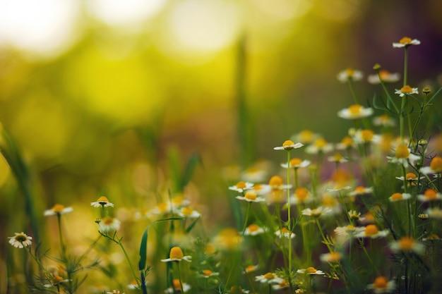Camomiles na luz da noite escondem as pétalas em um pôr do sol