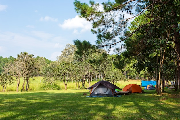 Camping e tenda sob o pinhal