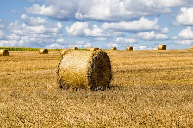 Campo agrícola após a colheita do trigo para alimentação, o trigo é transformado em farinha