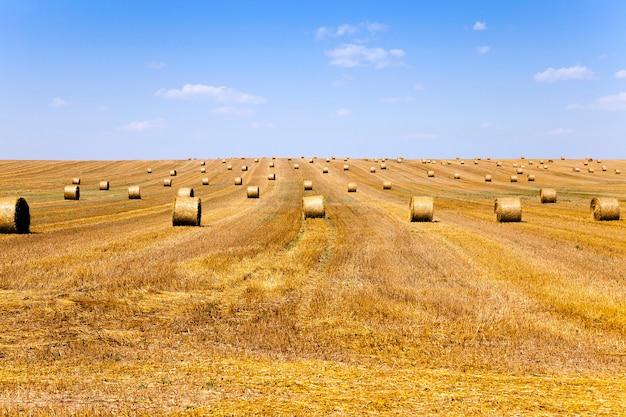 Campo agrícola com cereais durante a colheita. verão