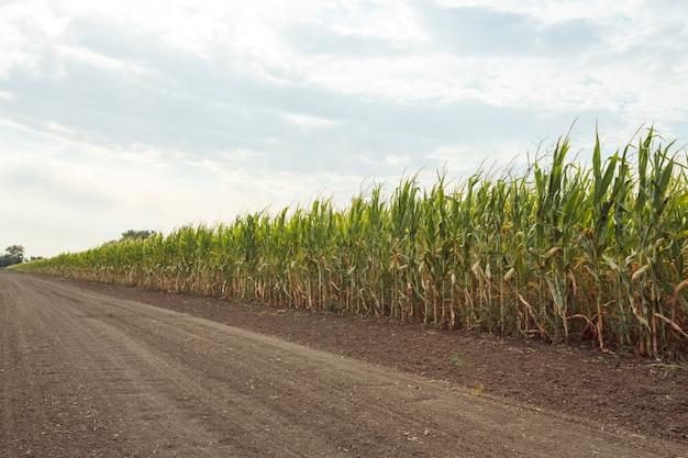Campo agrícola com milho