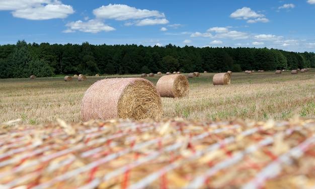 Campo agrícola com palheiros após a colheita do centeio, do centeio havia palheiros dourados de palha espinhosa, montes de feno de palha de centeio, closeup