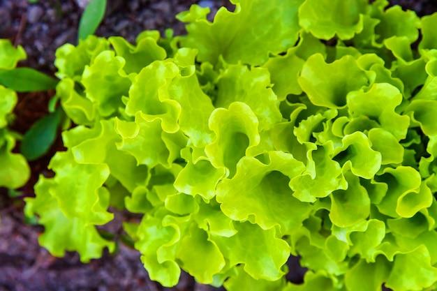 Campo agrícola com salada de folha verde de alface em canteiro de hortaliças