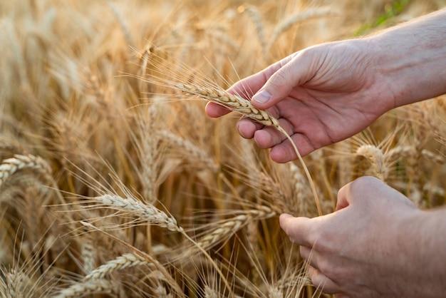 Campo agrícola com trigo