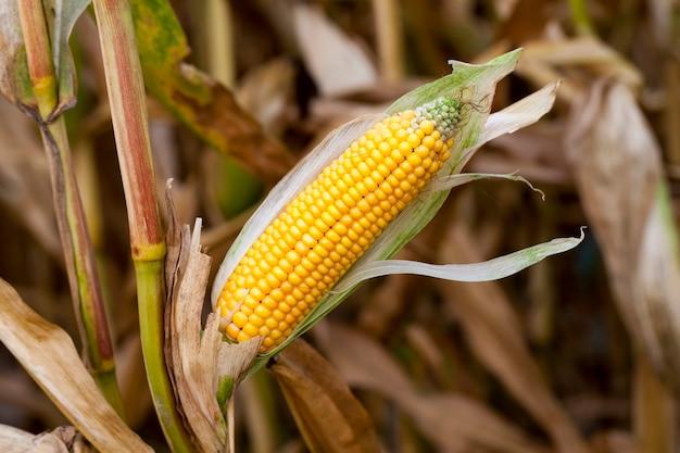 Campo agrícola de milho, o milho está maduro, mas as espigas com sementes estão cobertas de mofo e fungos
