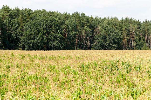 Campo agrícola de milho verde para produção de grãos