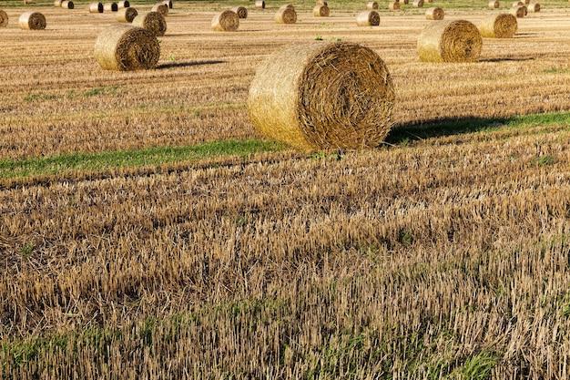 Campo agrícola em que as culturas de cereais, trigo ou centeio, atividades agrícolas na europa no oriente