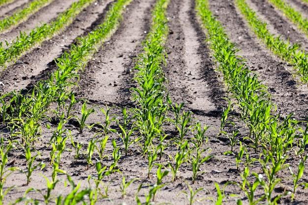 Campo agrícola em que cresce o milho verde jovem. fechar-se. primavera