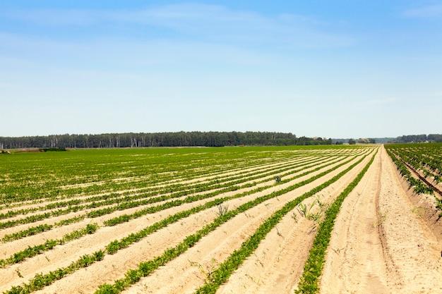Campo agrícola em que crescem cenouras. cenoura planta verde