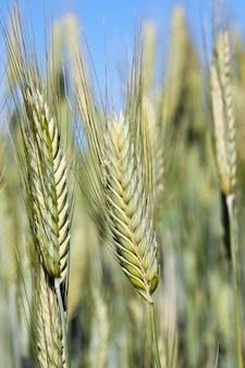 Campo agrícola em que crescem cereais imaturos, trigo.