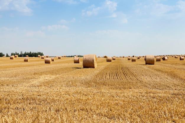 Campo agrícola em que é realizada a colheita de cereais, trigo. pilha de palha