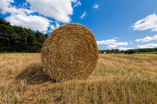 Campo agrícola em que há pilhas após a colheita do trigo, do trigo havia pilhas douradas de palha espinhosa, pilhas de sua palha de trigo no campo