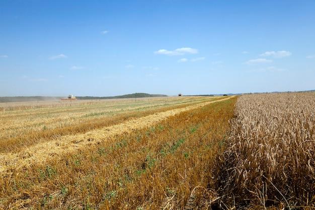 Campo agrícola no qual a colheitadeira para colher cereais