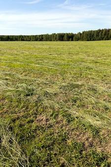 Campo agrícola no qual a forragem para o gado é colhida