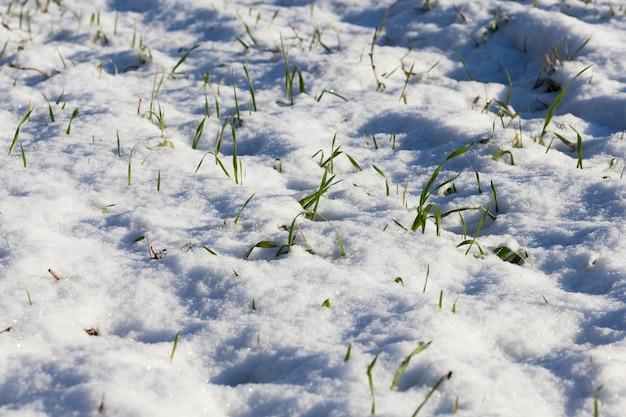Campo agrícola no qual cresce trigo verde coberto de neve no inverno, close-up, foco no primeiro plano, profundidade de campo rasa