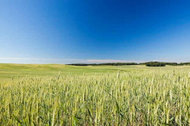 Campo agrícola no qual crescem cereais jovens imaturos, trigo. céu azul ao fundo