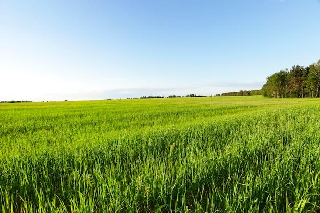 Campo agrícola no qual crescem cereais jovens imaturos, trigo. céu azul no