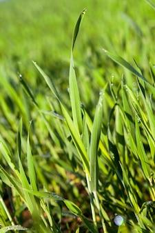 Campo agrícola no qual crescem cereais jovens imaturos, trigo.