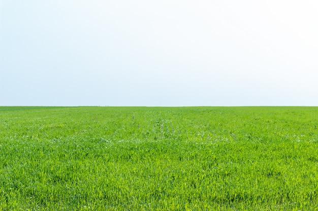Campo agrícola no qual crescem o trigo de grama jovem