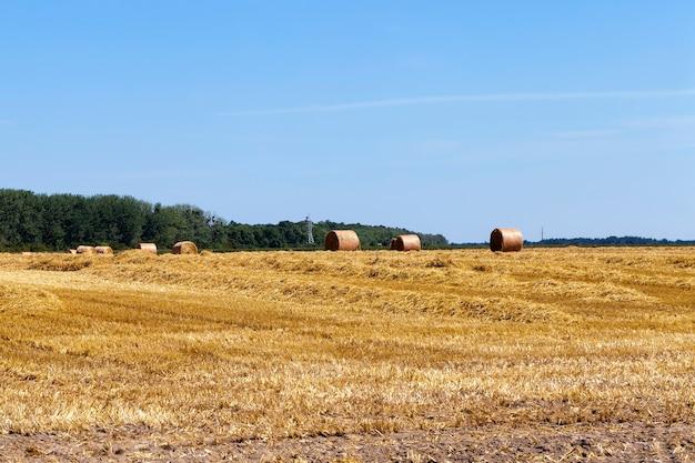 Campo agrícola onde a palha de trigo é coletada em pilhas para uso em atividades agrícolas e empreendimentos agrícolas