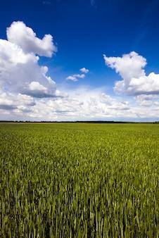 Campo agrícola onde cresce trigo verde e verde