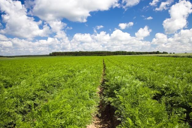 Campo agrícola onde crescem cenouras