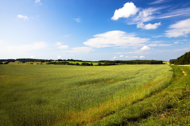 Campo agrícola onde crescem grãos verdes verdes