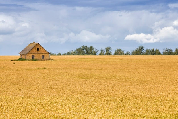 Campo agrícola onde o centeio verde cresce, cultivo para a colheita de grãos, o centeio é jovem e verde e ainda imaturo, paisagem de cultivo agrícola do centeio com uma casa no campo