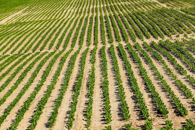 Campo agrícola onde são cultivadas variedades de beterraba de reprodução, plantas de beterraba verde em solos férteis, obtendo uma colheita de produtos de beterraba de alta qualidade, close up