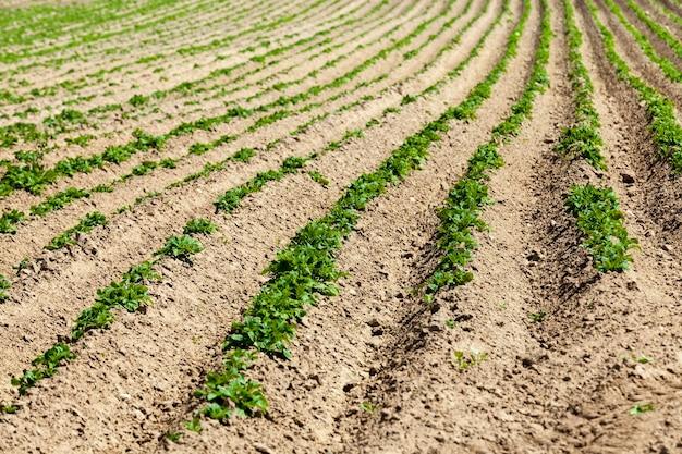 Campo agrícola onde são cultivadas variedades de plantas de batata, pequenas plantas de batata em solos férteis, obtendo uma safra de batatas para alimentos de alta qualidade