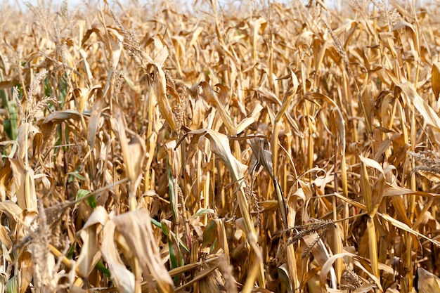 Campo agrícola, onde se cultivam espigas de milho maduras prontas para a colheita.