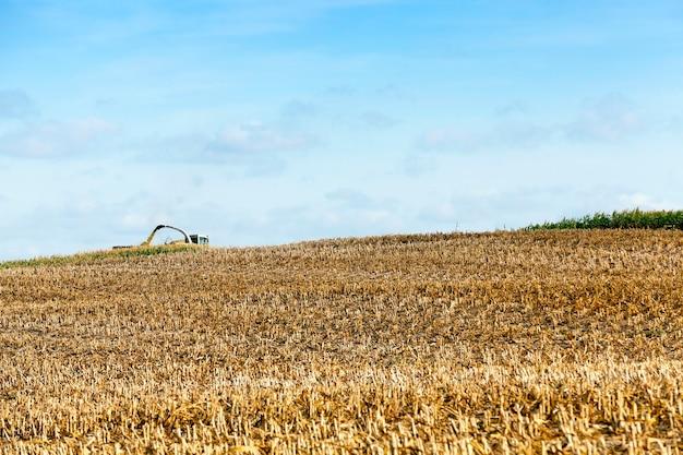 Campo agrícola onde um trator coleta safra de milho madura, caules chanfrados e amarelados de uma planta de perto, a temporada de outono, céu azul,