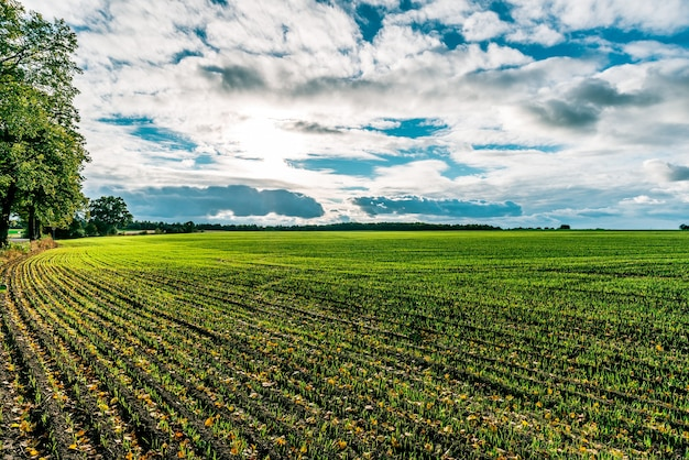 Campo agrícola semeado com grãos de inverno no outono