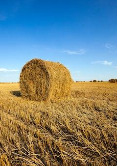 Campo agrícola - um campo agrícola no qual também cresce a colheita do trigo