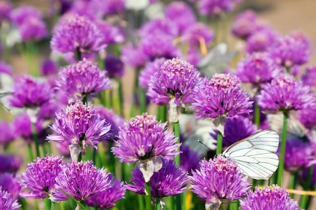 Campo allium com borboletas