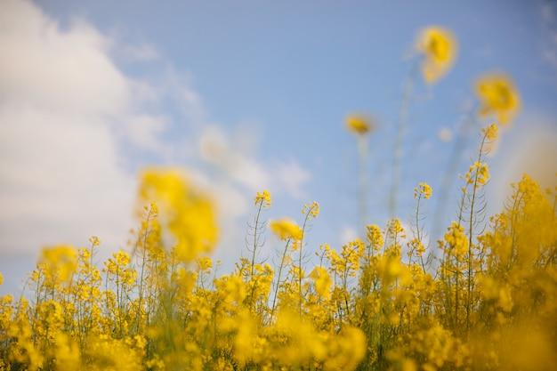 Campo amarelo ao pôr do sol