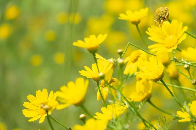 Campo amarelo da flor da margarida de coroa com wildflowers.