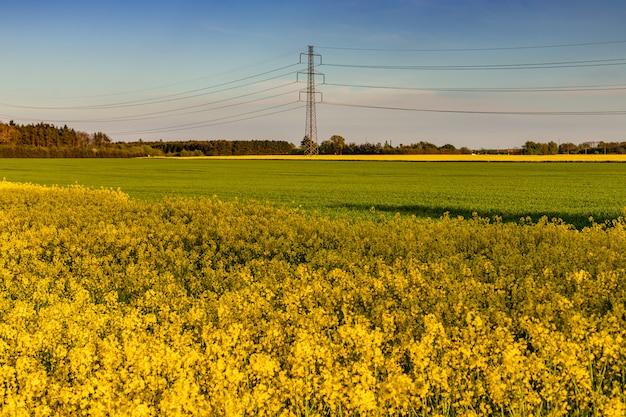 Campo amarelo de colza à noite