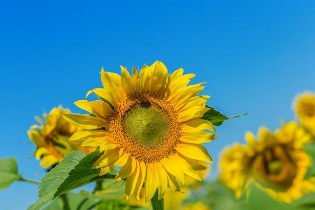 Campo amarelo de girassóis