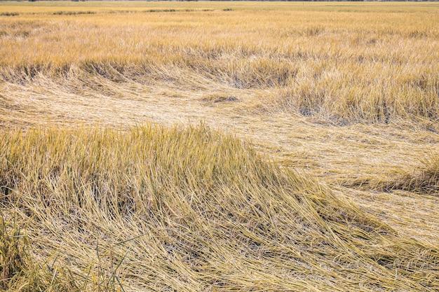 Campo amarelo do arroz do cereal no backgound bonito do estilo de vida da idéia do conceito da natureza do vento