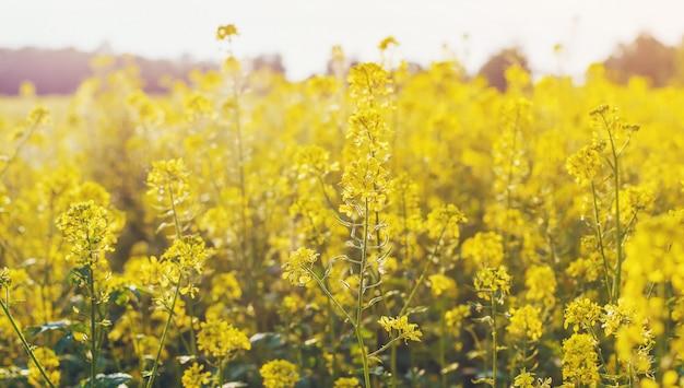 Campo amarelo no verão, flores de mostarda