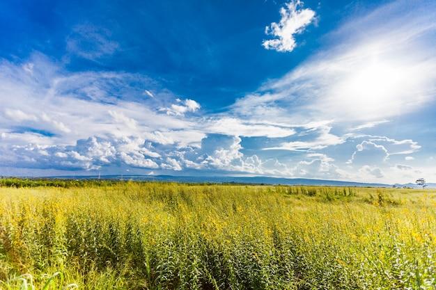 Campo amarelo sob o céu azul. fundo da natureza